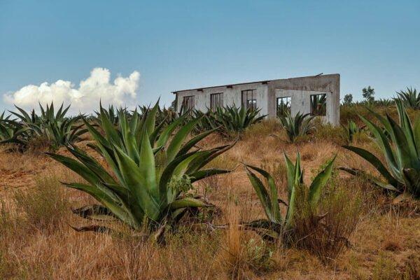 Pulque Anbau Agaven Farm Mexiko
