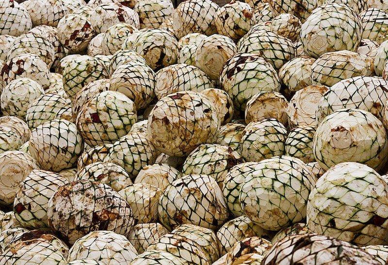 Frisch geerntete Agaven Koepfe zur Pulque Herstellung